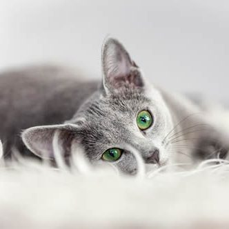 Pet Friendly Apartments cat_gray